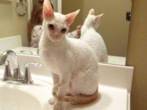 порода кошек, которые не линяют
