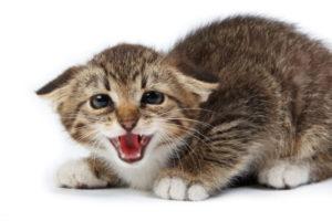 Каковы первые признаки бешенства у кошек