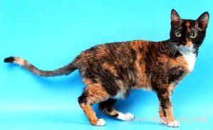 Описание и характер породы кудрявой кошки
