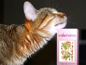 Можно ли давать кошкам валерьянку