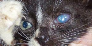 Симптомы бельма у кошки