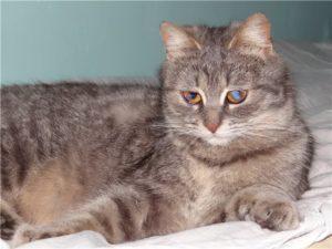 Почему появляется и как лечится бельмо на глазу у кошки