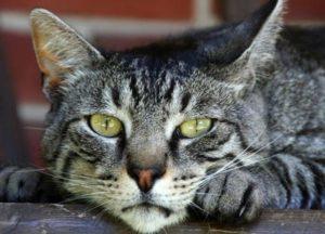 Почему появляются и как лечатся струвиты в моче у кошки
