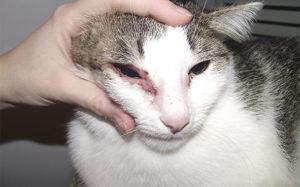 Симптомы и лечение аллергии на корм у кошек