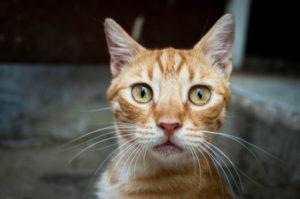 Симптомы и лечение дипилидиоза у кошек