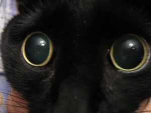 Симптомы и лечение катаракты у кошек