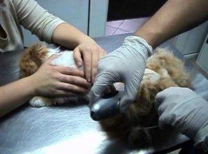 Симптомы и лечение липидоза печени у кошек