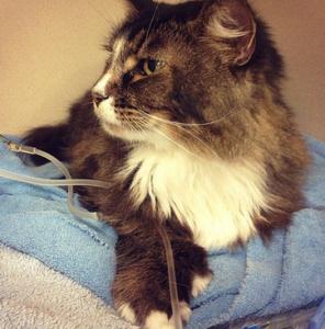 лечение непроходимости кишечника у кошек