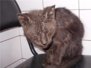лечение нотоэдроза у кошек
