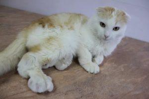 лечение остеохондродисплазии шотландских вислоухих кошек