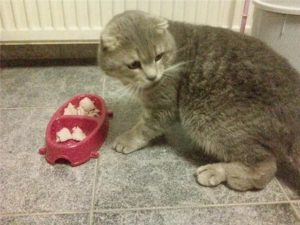 Симптомы и лечение остеохондродисплазии шотландских вислоухих кошек