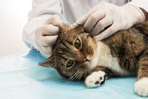 Симптомы и лечение отита у кошек