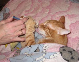 Симптомы и лечение отравления у кошек