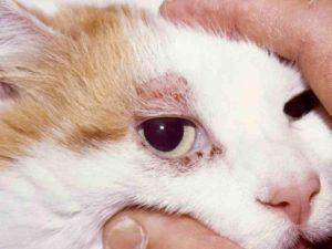 лечение подкожного клеща у кошек