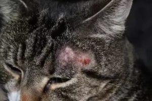 лечение трихофитии у кошек