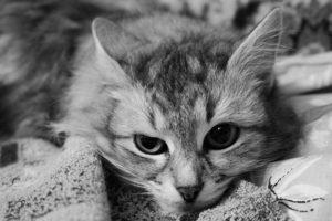 лечение вируса иммунодефицита у кошек