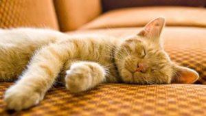 Почему кошачьи так много спят