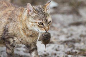 Зачем кошки несут убитых животных домой