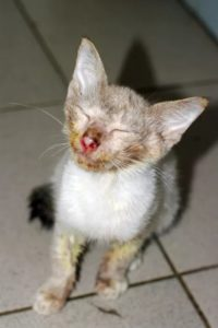 Симптомы и лечение кальцевирусной инфекции у кошек