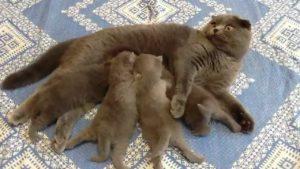 Сколько дней ходят беременными шотландские вислоухие кошки
