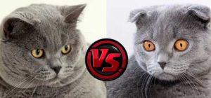 Чем именно отличается британская кошка от шотландской