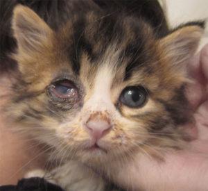 как лечить, если у кошки гноятся глаза