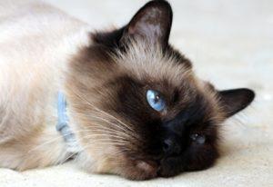характер бирманской породы кошек