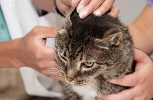 лечение ушного клеща у кошек