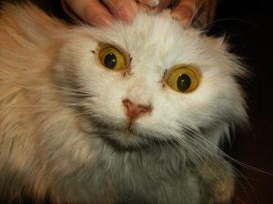 желтухи у кошек