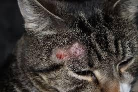 дерматомикоза у кошек