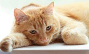 холецистита у кошек