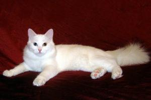 Какой характер у ангорской кошки