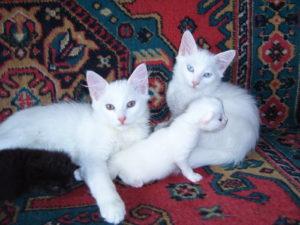 Особенности ангорской породы кошек
