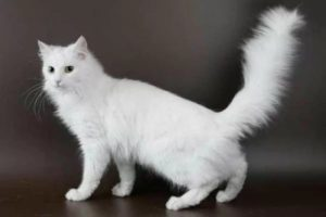 Описание и характер ангорской породы кошек