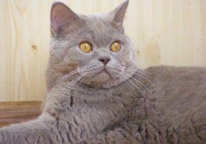 Описание и характер породы кошки скоттиш-страйт