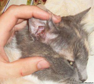 Ваши действия, если кот чешет уши и трясет головой