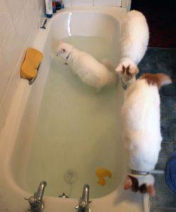 Кошки не любят купаться