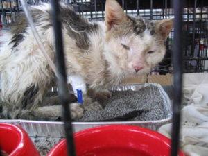Симптомы и лечение вирусной лейкемии у кошек