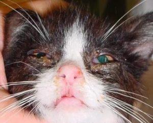 лечение кальцевирусной инфекции у кошек
