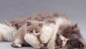 Чем и как кормить кормящую кошку